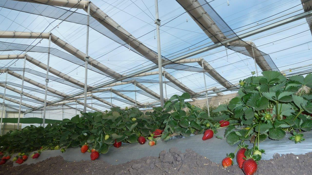 strawberries14.jpg