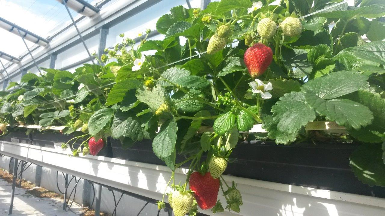 strawberries3.jpg
