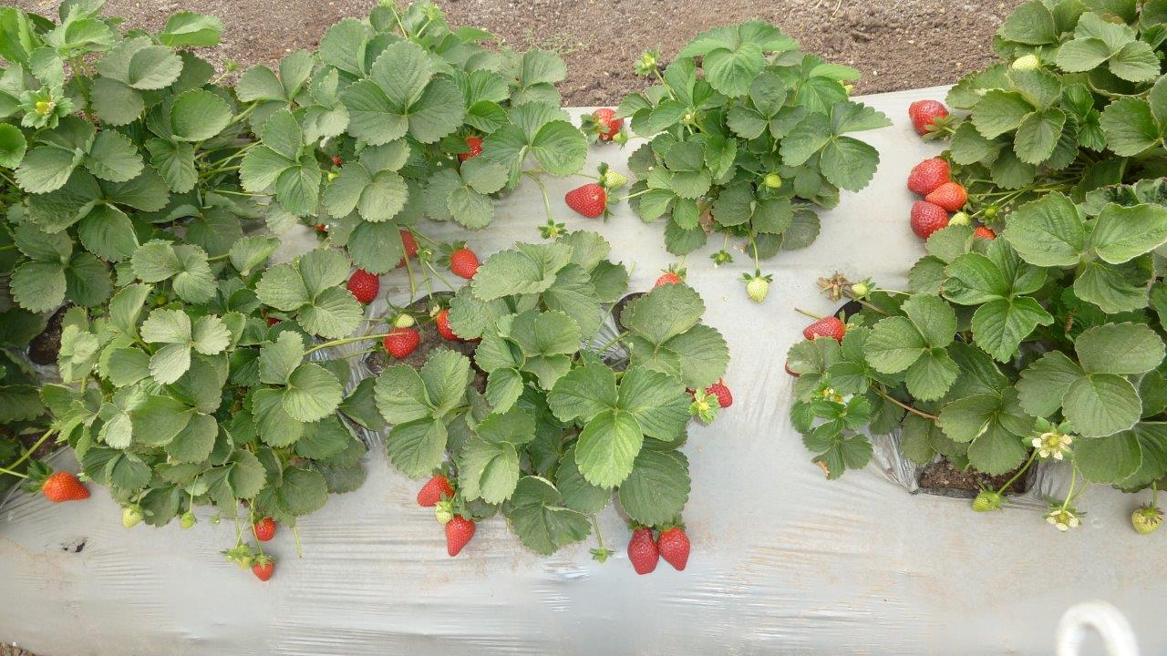 strawberries12.jpg
